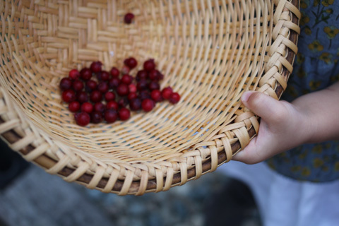 モンテッソーリジューンベリーの収穫
